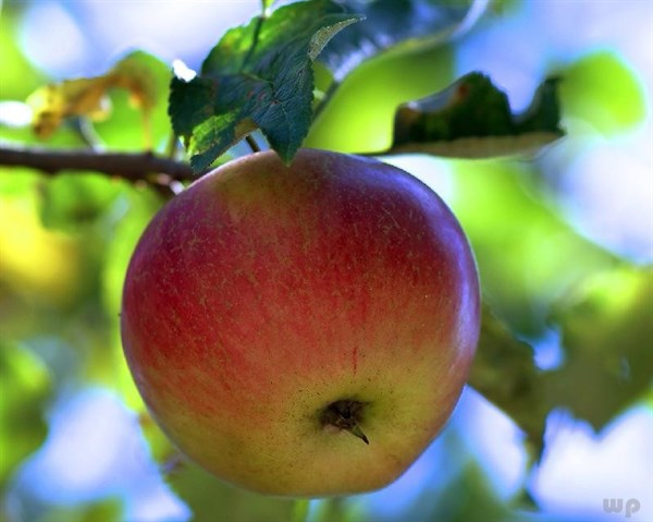 [新聞] 蘋果和它是搭檔,早晚一杯,清理腸道,排出宿便,體重悄悄降下來