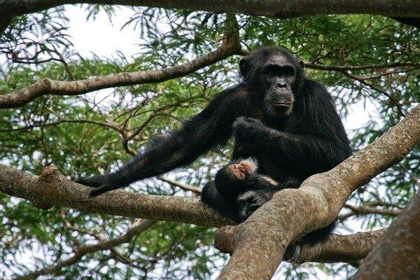 [新聞] 棲息地逐年喪失  黑猩猩獵殺人類幼童